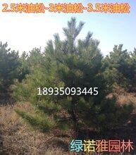 哪里有3米白皮松3米-3米5白皮松产地价格白皮松占地树图片
