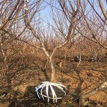 赤峰5公分6公分8公分10公分12公分桃树价格图片