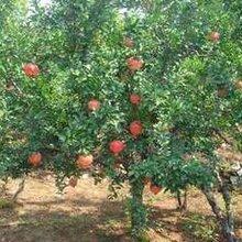 8公分水蜜桃树报价10公分水蜜桃树价格,张家界5公分水蜜桃树价格图片