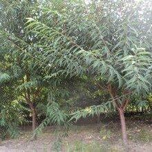8公分水蜜桃树报价10公分水蜜桃树价格,吐鲁番5公分水蜜桃树价格图片