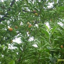 8公分水蜜桃树报价10公分水蜜桃树价格,鸡西5公分水蜜桃树价格图片
