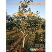 正宗日本甜柿子樹苗哪里有賣的脆甜柿子樹苗價格圖片