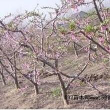 今年4公分5公分6公分桃树产地报价+桃树多少钱一棵?图片