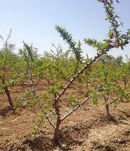 昌都5公分水蜜桃樹價格品質優良,10公分水蜜桃樹價格圖片
