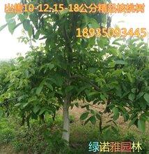 出售占地核桃树5公分6公分7公分8公分10公分占地核桃树产地批发价格图片