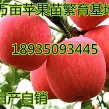 10公分苹果树+12公分苹果树价格15公分占地苹果树价格图片