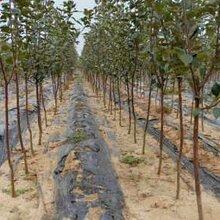 出售3公分苹果树产地价格3公分苹果树多少钱一棵3公分苹果树哪里有卖的图片