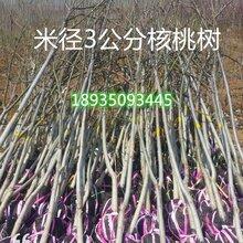 占地核桃树苗占地核桃树薄皮核桃树苗核桃树产地价格图片