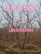 今年丛生石榴树产地价格图片