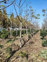 出售6公分核桃树+6公分-8公分核桃树价格+核桃树多少钱一棵图片