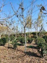 今年10公分高杆核桃树价格+目公分核桃树多少钱一棵图片