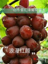 安徽銷售大粒紅色新品種葡萄浪漫紅顏葡萄苗價格圖片