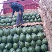 西瓜种植基地西瓜批发大市场河南