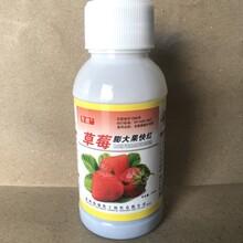 草莓安全膨大催红剂草莓无激素催熟好农药草莓不软果不空心草莓膨大素