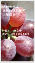 优质无核玫瑰香葡萄大量成熟欢迎批发