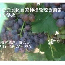 优质凉地无核玫瑰香葡萄成熟大量供应