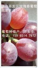 烟台自家种植无核玫瑰香葡萄大量批发