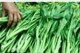 宁夏鑫茂原冷链物流专业合作社万亩高标准外销蔬菜基地