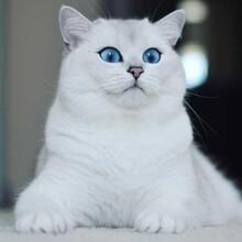 英國短毛貓,虛擬貓。圖片