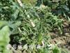 病毒展叶灵番茄黄化曲叶病毒病黄瓜花叶病毒病专用药效果明显