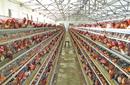 武汉华牧10+环境监控系统蛋鸡养殖自动化设备