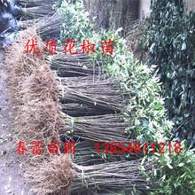 泰安现货供应大红袍花椒苗,0.2-0.8花椒苗价格