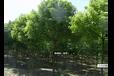 高价现金收购苏州周边地区绿化香樟广玉兰榉树等绿化树