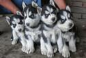 东莞哪里有卖宠物狗东莞哪个狗场买狗好图片
