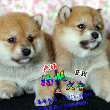 东莞哪里买狗好买纯种柴犬首选广东扬帆犬舍