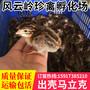 温州珍珠鸡苗-苍南珍珠鸡苗-文成批发珍珠鸡苗图片