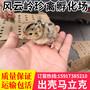 襄阳野鸡苗-2016年襄阳养山鸡利润多高图片