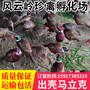 杭州野鸡苗-七彩野山鸡杭州养殖效益好图片
