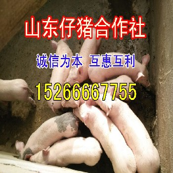仔猪7755带字