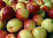 油桃哪里品种好-河北最新油桃批发-油桃价格行情及趋势