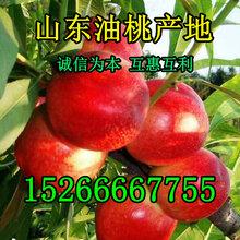 批发油桃-辽宁最新油桃价格-油桃批发行情图片