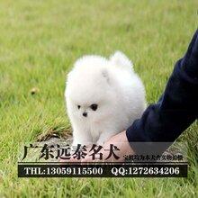 广州天河区哪里有卖博美犬正规有保障狗场出售宠物狗图片