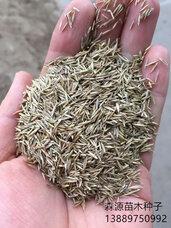 紫羊茅种子,紫羊茅种子价格,紫羊茅种子批发