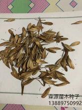 辽宁省水曲柳种子价格一览表图片