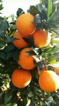 湖北秭归脐橙秭归脐橙批发