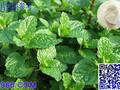 批发供应优质留兰香香精薄荷香精香气持久浓度高图片