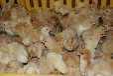 柴鸡养殖:如何判断低产柴鸡苗草鸡苗