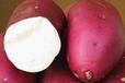 商薯19红薯地瓜苗供应河北多个地区质量保障