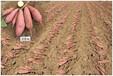 济薯26红薯苗供应山东秦皇岛衡水等多地区量大优惠