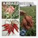 淀粉型冀薯982产量高质量好就到邢台农乐专业育苗基地