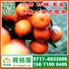 菏泽东明晚熟密橘代收电话150-9089-8009中熟柑橘瓜果批发