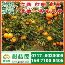 河北特早蜜橘来源电话156-7100-0405定州特早蜜桔批发价格图片