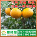 梁山早熟柑桔直供电话150-9089-8009济宁早熟柑桔供货来源