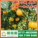 济宁中熟橘子电话,泗水柑橘桔子代收代购