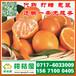 济宁邹城特早蜜橘代办电话150-9089-8009市场行情