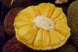 马来西亚一号菠萝蜜苗批发云南菠萝蜜苗批发